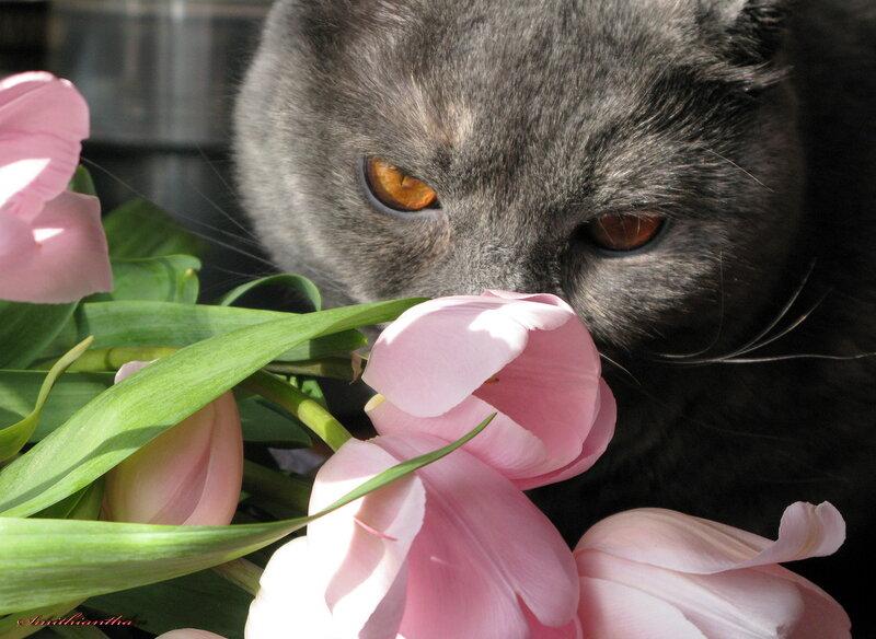 Открытка с британским котом
