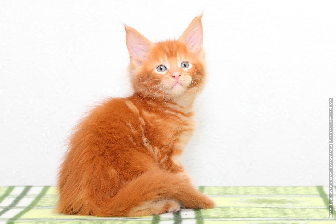 питомник в Москве красный котенок Мейн-кун