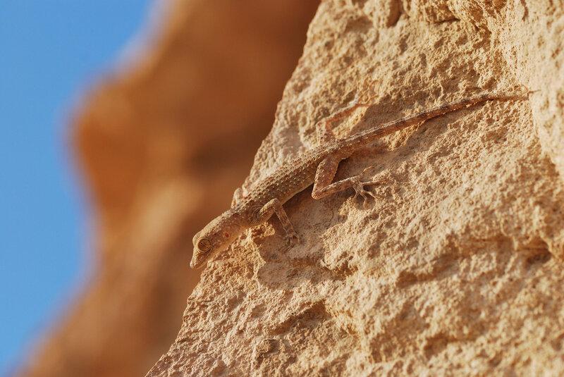 степной туркестанский геккон