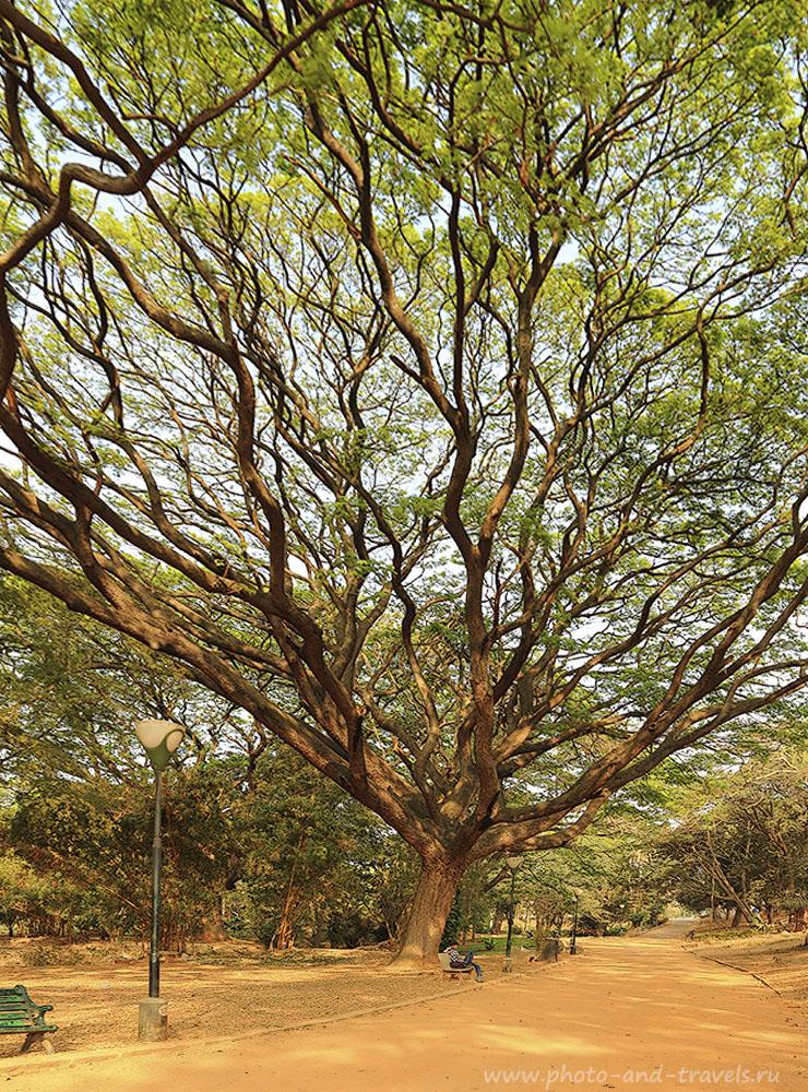 9. Дерево в Индии