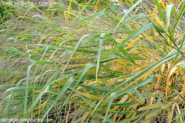Panicum virgatum Dallas Blue (1).jpg