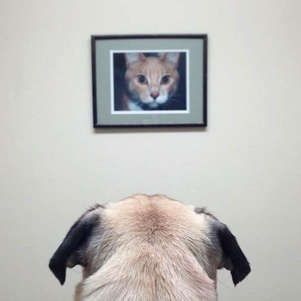 Собачий отжиг мопса по кличке Norm Джереми Вич