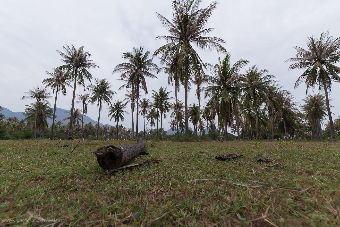 Фотография 6. Пальмовая роща в окрестностях Хуахина. Таиланд дикарями. Камера – Nikon D610, объектив Samyang 14/2.8. Параметры съемки: ISO 400, ФР=14, F/8.0, В=1/60