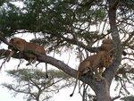 Древолазающие львы.JPG