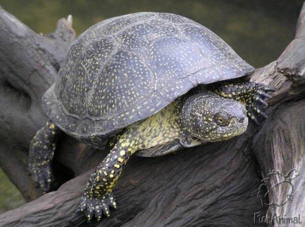 Энциклопедия - ЧЕРЕПАХИ. Виды черепах ( фото и описание ) Все о черепахах. Содержание. Разведение. Кормление.  0_44fb_e793e8ee_XL
