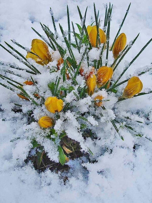 Крокусы жёлтые в снегу.jpg