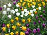 Тюльпаны на клумбах Краснодара