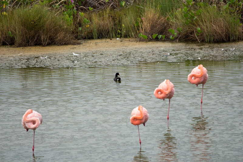 Greater Flamingos and Moorhen.