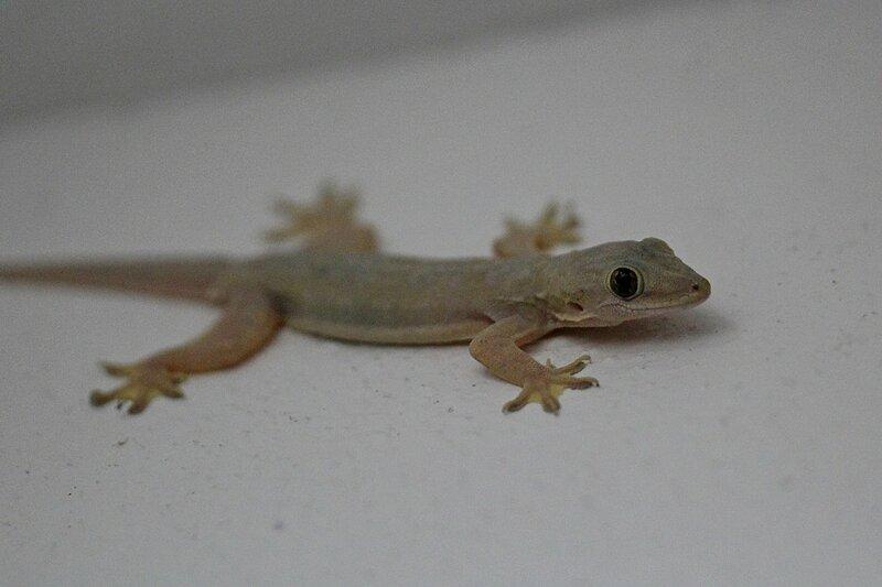 Геккон полупалый домовой (Hemidactylus frenatus) с чёрными глазами на белой стене