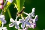 Гусеницы. Непарный шелкопряд