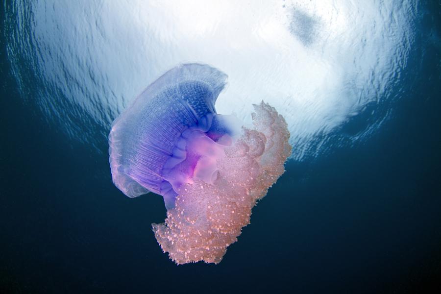Crown Jellyfish - Netrostoma setouchina in Fiji