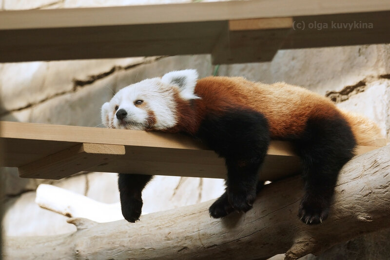 Красная панда2.jpg