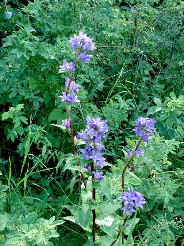 Колокольчик скученный (Campanula glomerata)Альбом: цветы и другое