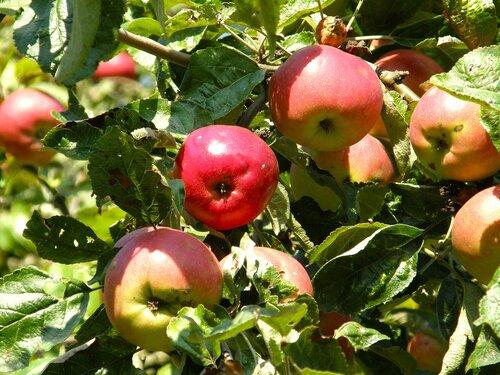 Солнце в яблоках.