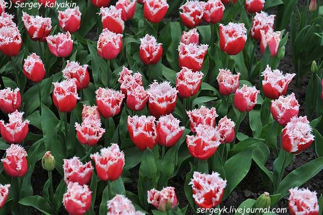 Tulipa New Santa (2).JPG