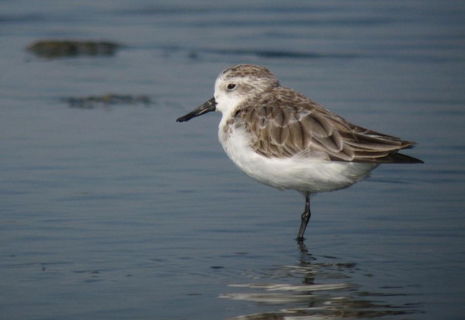 Плодящихся пар этих птиц осталось менее 100. Их ареалом обитания в теплое время года является Чукотс