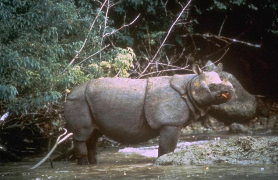 В природе осталось менее 100 особей данного вида. Проживают яванские носороги на острове Ява, в индо