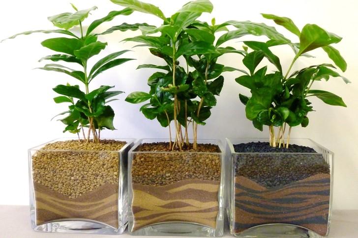 13. Кофейное дерево Домашнее кофейное дерево для заядлых кофеманов.