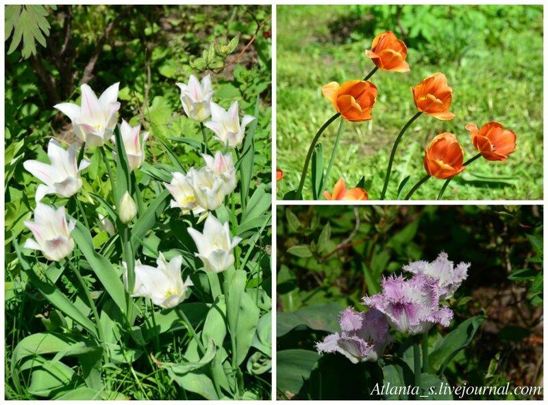 Тюльпаны 4.jpg