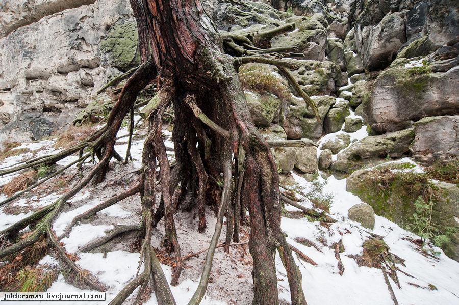 корни дерева уникальное явление