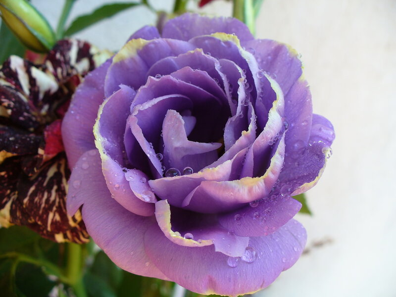 Роза лизиантус