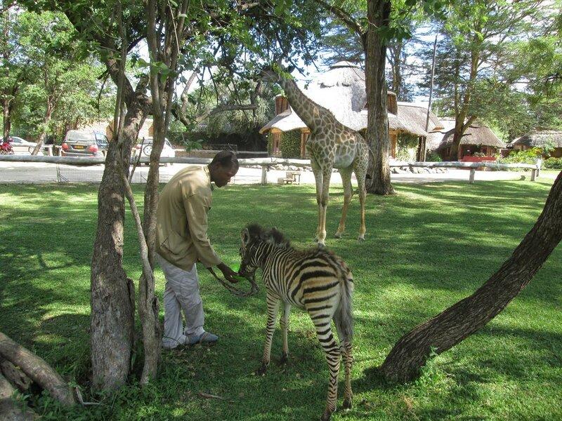 зебра дружит с жирафом