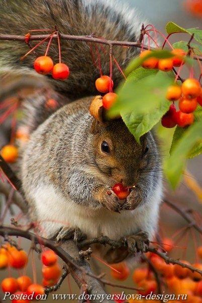 белка ест боярышник, ягоды, осень