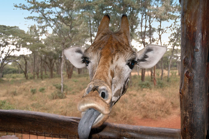 1. «Что смотришь? Я почти достал». (Фото Oli Dreike | Comedy Wildlife Photography Awards):
