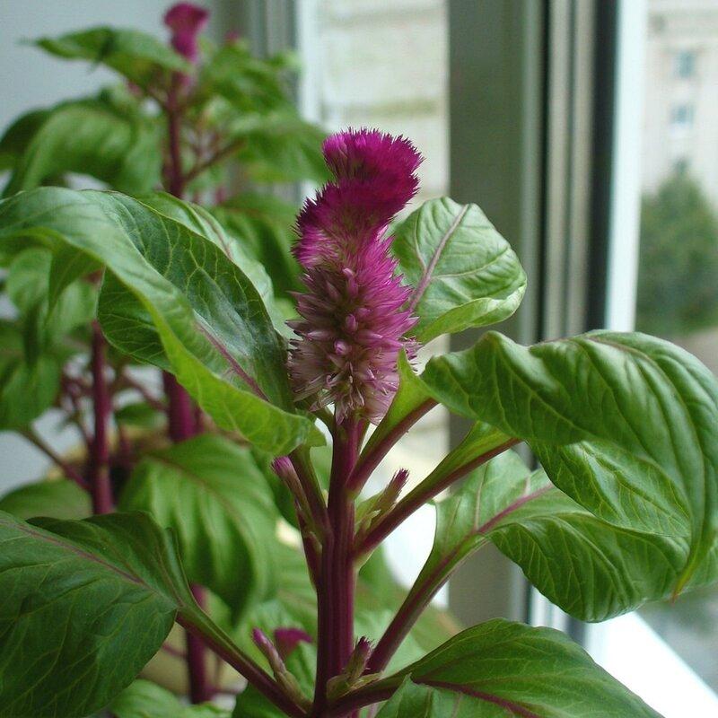 Петушок цветы фото