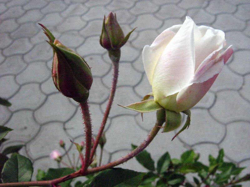 Розы у пляжа