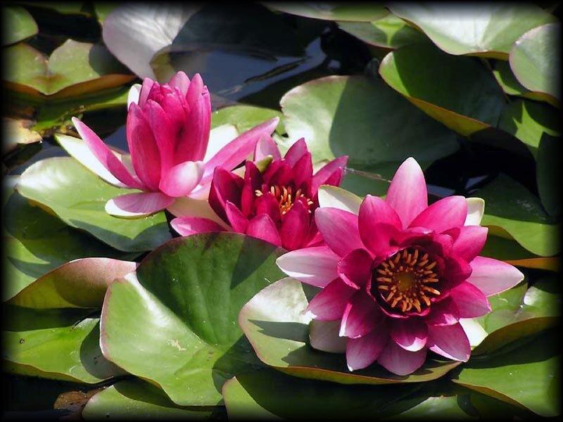 Какого цвета речные лилии
