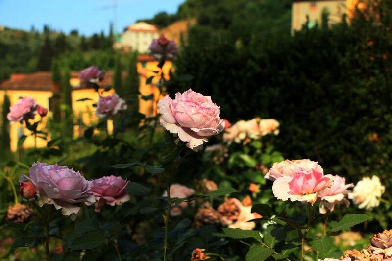 Домашние цветы герани