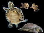 морская черепаха (11).png