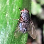 Голубая муха.jpg
