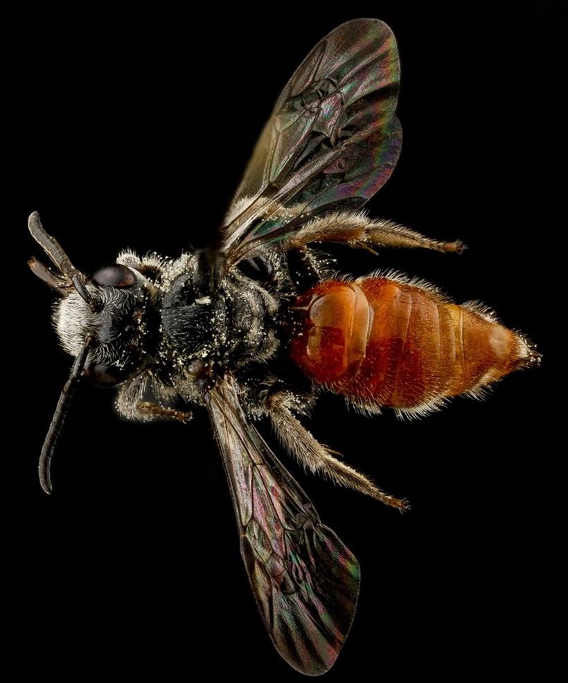 Макрофотографии разноцветных американских пчел 0 13d2bb be38ac03 orig