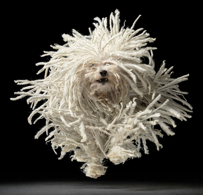Собака породы пули в прыжке. Первоначально пули была пастушьей собакой и служила незаменимым помощни
