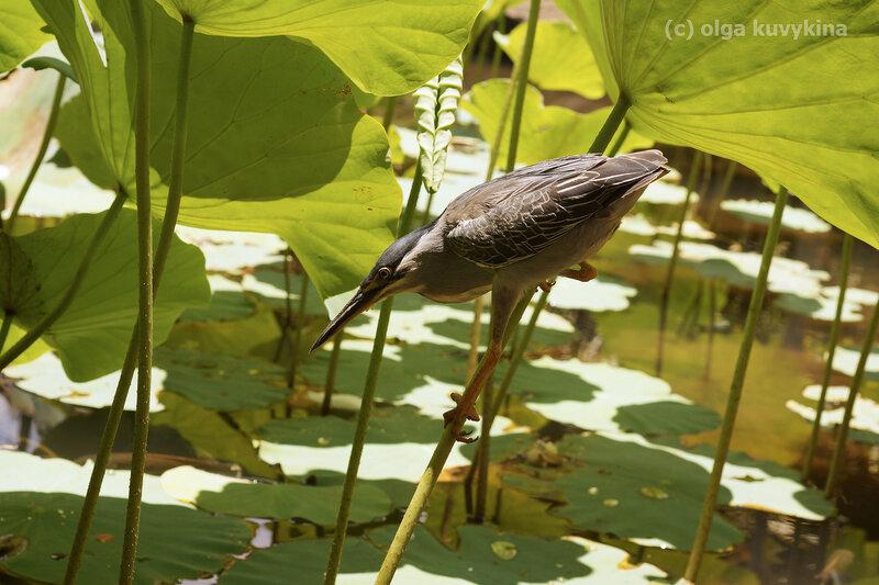 Зеленая кваква (Butorides striatus)