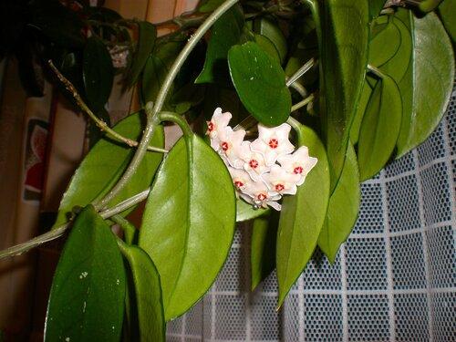 название цветов мужегонов фото