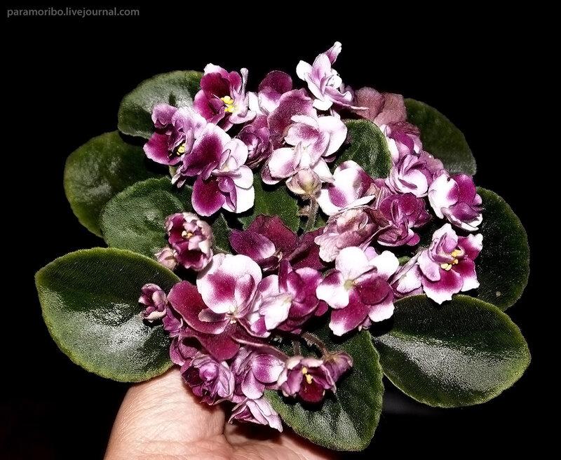 Это не букет в руке, а одно растение в горшочке диаметром 5 см. Мой любимый сорт – мини-сенполия «Южная весна», селекция – Макдональд / Mac's Southern Springtime (G. McDonald)