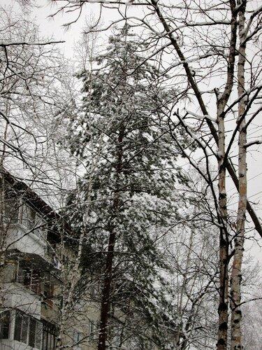 первый снег сосна.jpg