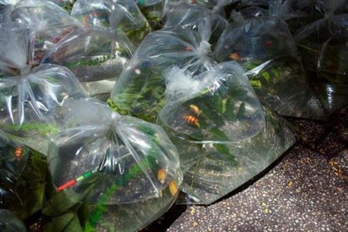 «Карманная река». Инсталляция из пакетов с аквариумными рыбками