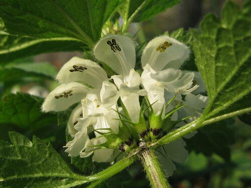 Яснотка белая (крапива глухая) - применение и рецепты
