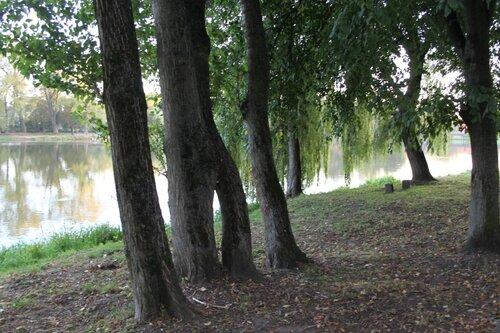 сросшиеся деревья
