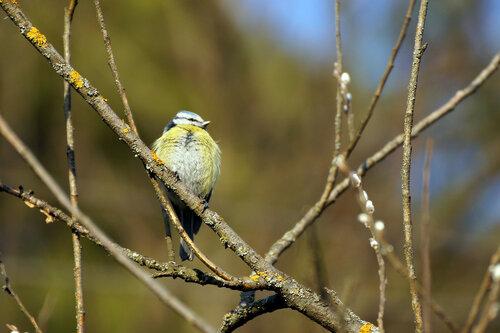 Обыкновенная лазоревка (Cyanistes caeruleus) Автор фото: Привалова Марина