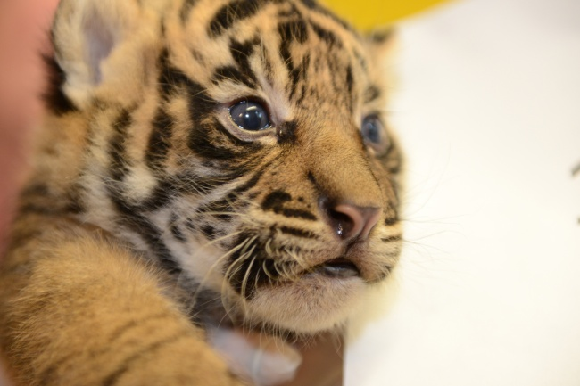 Обычно тигры не рычат на других животных, но могут с помощью рева общаться с сородичами на расстояни