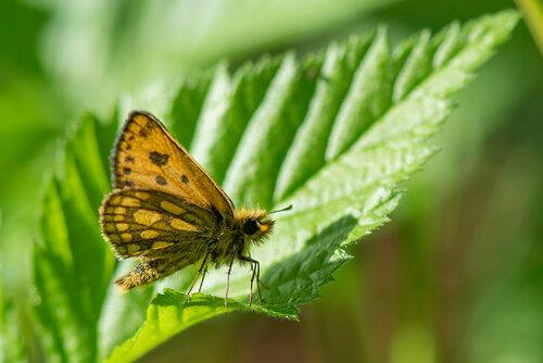 Крепкоголовка лесная (Carterocephalus silvicola) Автор: Владимир Брюхов