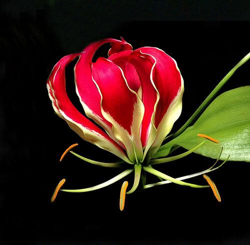 С Новым Годом! Здоровья, радости, ярких фотографий! / Глориоза великолепная (Gloriosa superba), семейство Colchicaceae (безвременниковые), порядок лилейные (Liliales)
