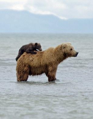 Buckaroo Bear