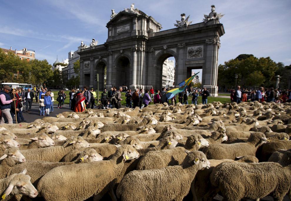 13. Овечий парад, Испания, Мадрид, 25 октября 2015. (Фото Sergio Perez | Reuters):