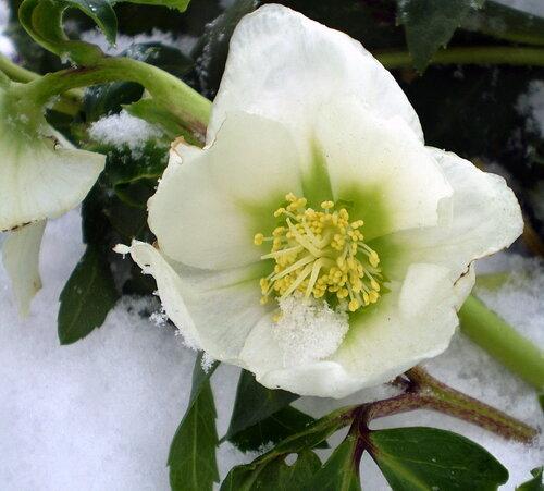 Снежный цветок.Морозник